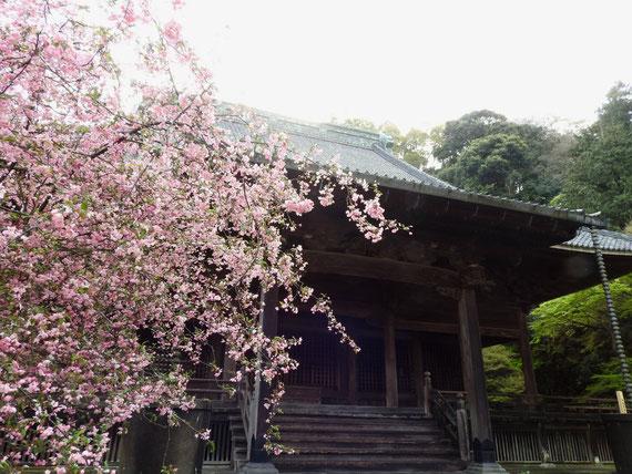 海棠の花と祖師堂