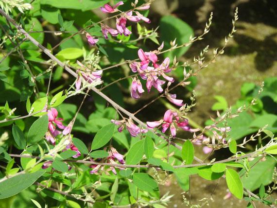 参道の、萩の花