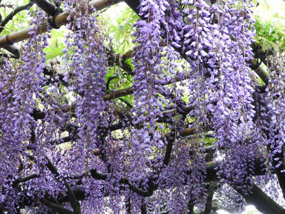 光則寺の藤の花 160429撮影