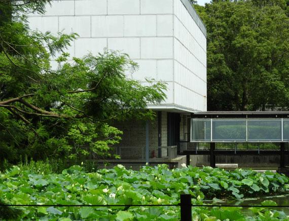 平家池の蓮の花と近代美術館