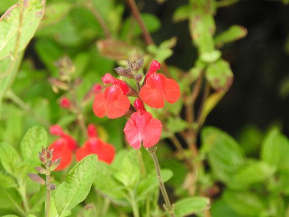 ブラフ99ガーデンの花、サルビア