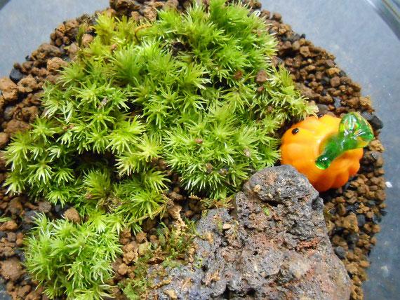 苔テラリウム 苔植え替え