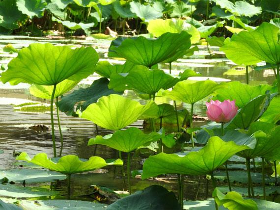 源氏池の蓮の花