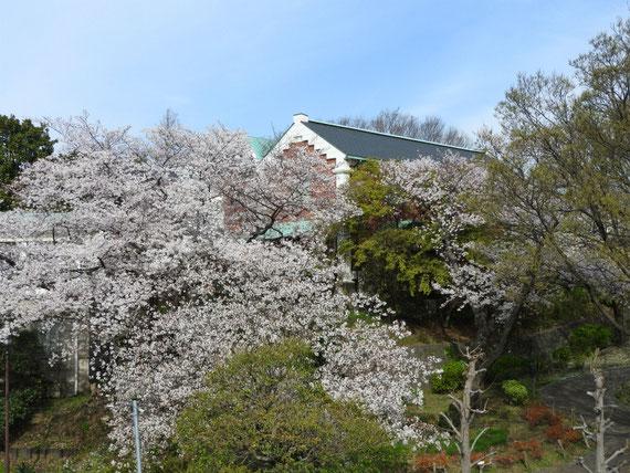 公園内桜と大佛次郎記念館