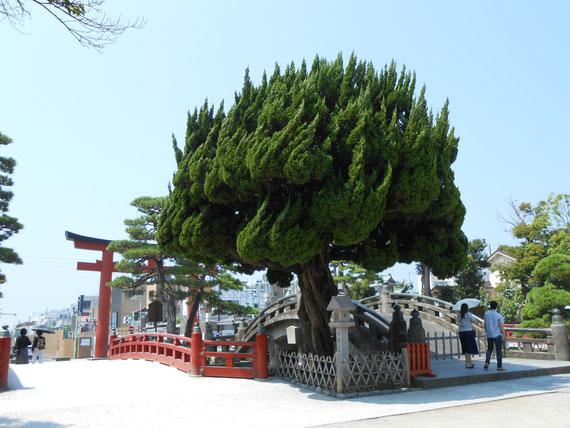 8月の鶴岡八幡宮太鼓橋、左が神苑ぼたん庭園入り口。この木が印象的なラウンドマークです。