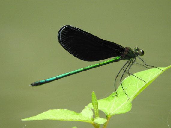 羽黒蜻蛉(はぐろとんぼ)