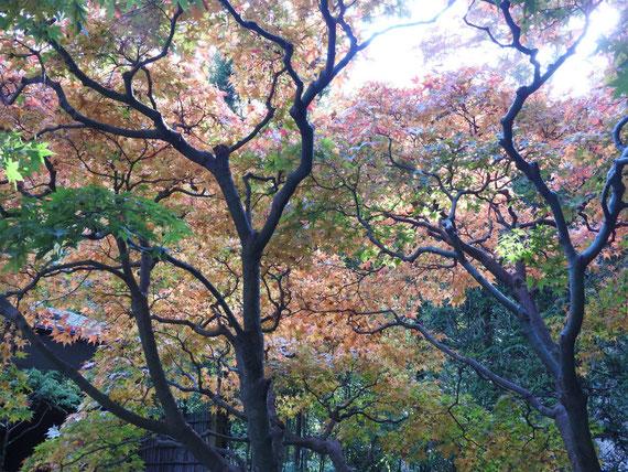 竹の庭入り口の紅葉