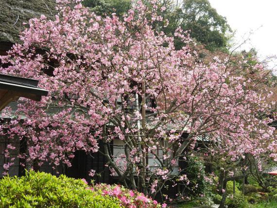 春の花、花海棠