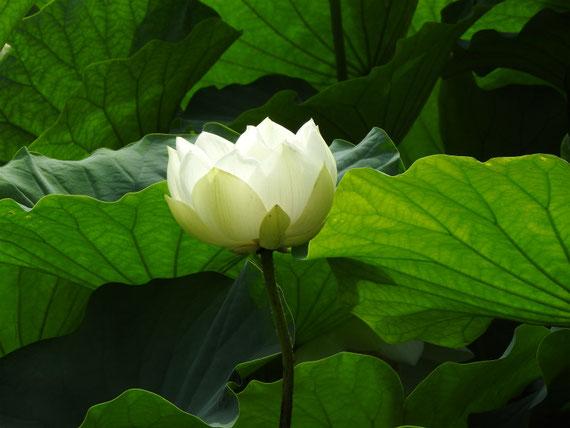 蓮の花 白