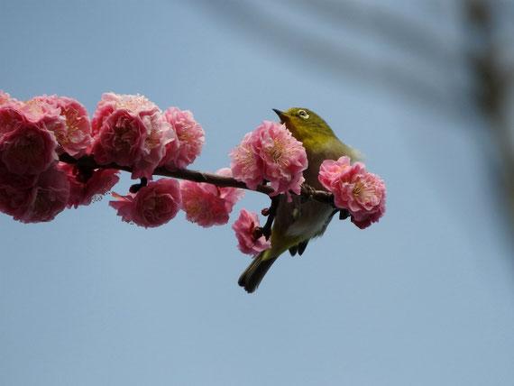 花桃の花トメジロ 散策路