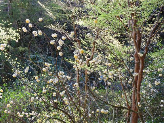 白蓮舎の前庭の、三椏の花