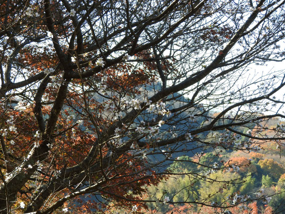 紅葉をバックに咲く、冬桜