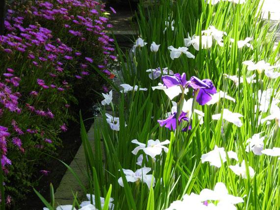 庫裡前の、花菖蒲と松葉菊