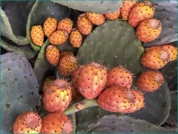 Figo da India - Higochumbo