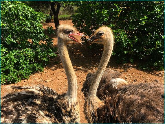 Dois avestruzes em um pomar de figo