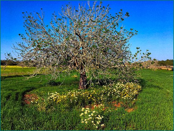 Início da primavera e na figueira as primeiras folhas.