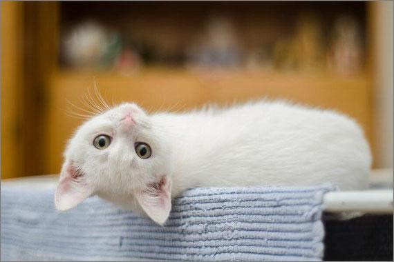 こちらを見つめる白猫