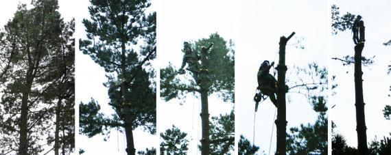 wezenn elagage devis gratuit brest plougastel taille arbre haie grimpeur élagueur david laurent entretien espace vert BMO abattage démontage pin ététage
