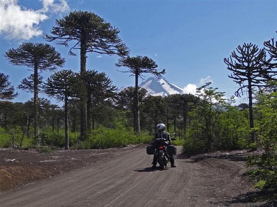 Die ersten Araukarien, diese speziellen Bäume in Chile.
