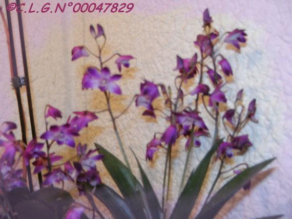 Le même Dendrobium pris sous un angle différent.