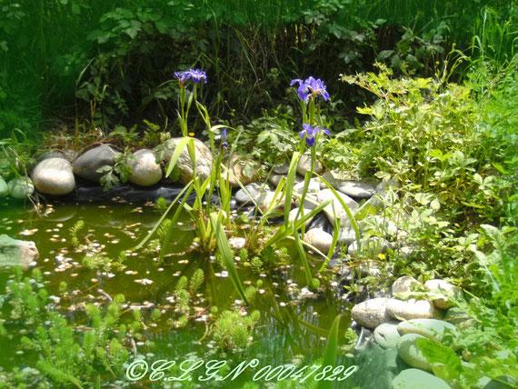 Floraison des Iris d'eau au printemps 2011