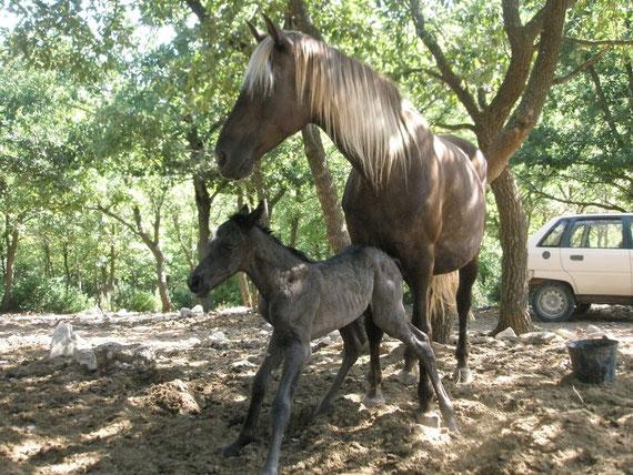 poulain rocky mountain horse a vendre for sale