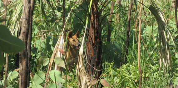 le mythique dingo d'Australie