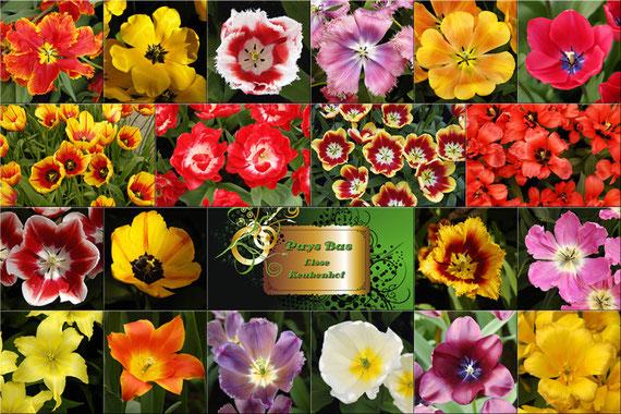 Photos prises à Lisse au jardin de Keukenhof. A voir d'avril à juin... Exceptionnelle variété de tulipes et de narcisses...