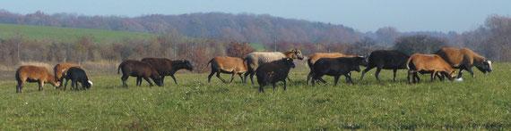 Mutterschafe auf der Weide