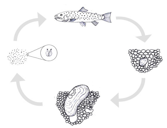 Lebenszyklus der Flussperlmuschel