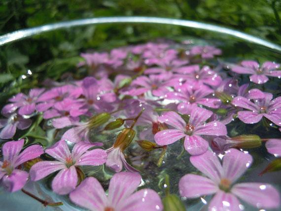 Sonnentee Geranium Robertianum, an einem sonnigen Sonntag im Juni 2013