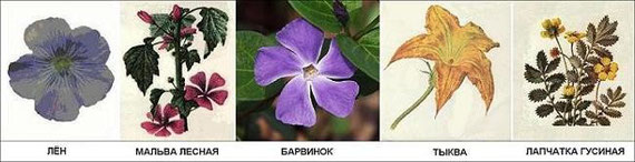 Рис. 7. Цветы с пятью лепестками