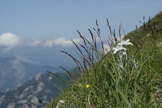 Beim Aufstieg zum Gipfel findet man zahlreiche Edelweiß