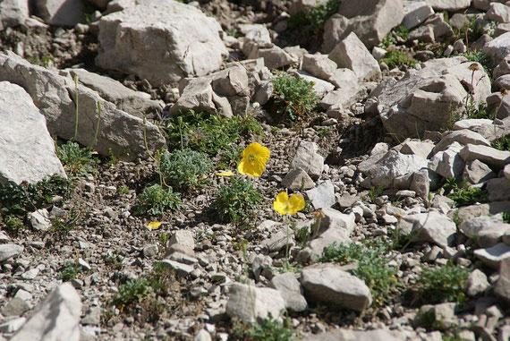 Im großen Schuttfeld beim Aufstieg Richtung Spitzkofel wächst der Gelbe Alpenmohn