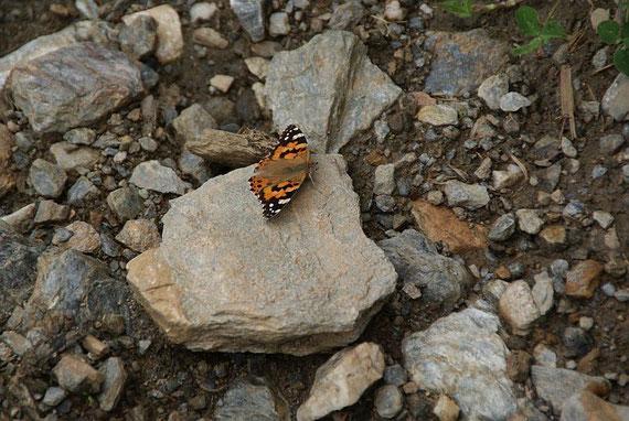 Ein Schmetterling kreuzt unsere Aufstiegsspur