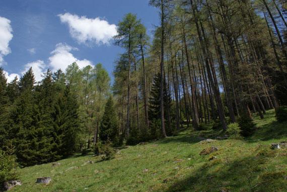 Aufstieg durch einen herrlichen Lärchenwald Richtung Neugartenhütte