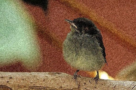 Mönchsgrasmücke Jungtier / Sylvia atricapilla obscura / La Gomera /© Henner Riemenschneider Gekko-Vision La Gomera