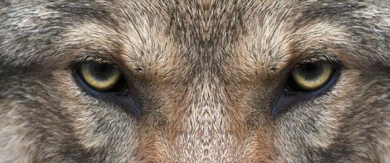 Die Augen von Wolf MT6 +
