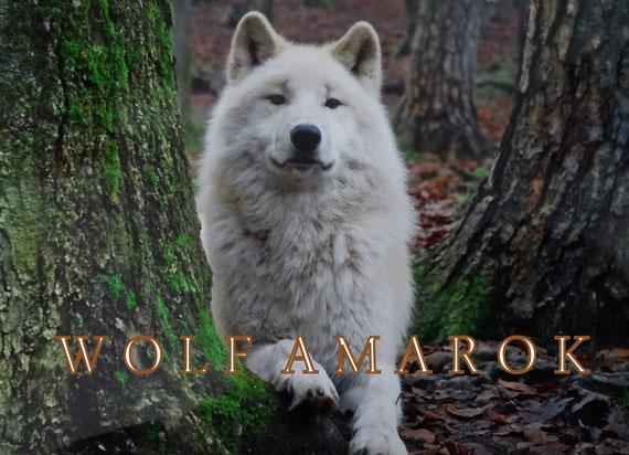 Amarok - Wolf im Wolfspark Werner Freund, Fotografie M. Schoenberger
