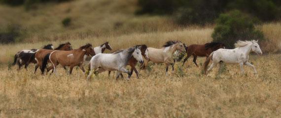 Herde von Choctaw-Pferden
