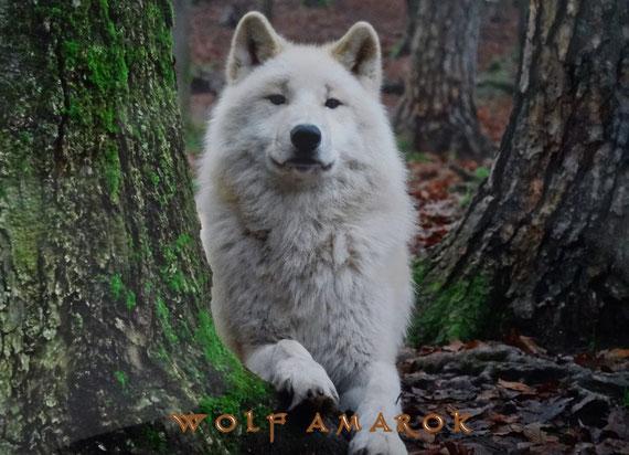 Wolf Amarok, Wolfspark Werner Freund Merzig. Fotograf M. Schoenberger