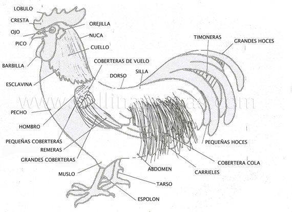 La gallina y sus partes - Imagui