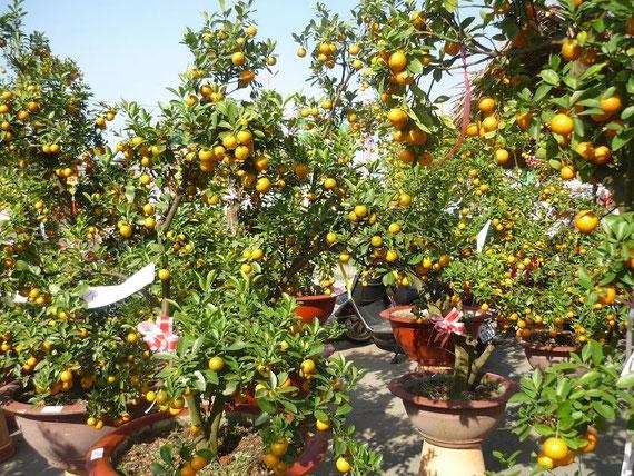 Orangenbäumchen für TET