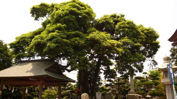 神木「タブの木」