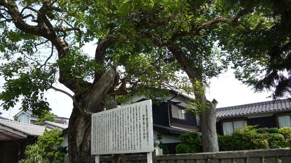 神木「ちしゃの木」