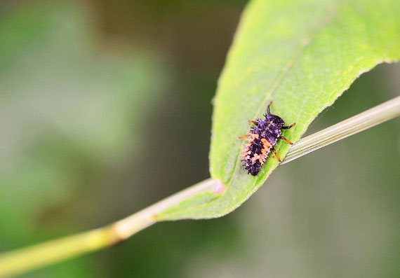 So hübsch wie Marienkäfer sind deren Larven nicht, aber nützlich (Foto: pixabay.com)