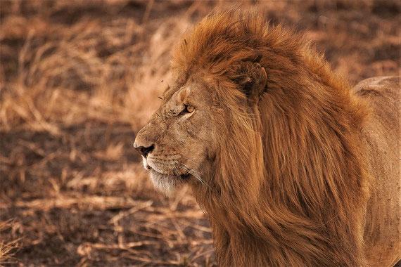 Die unterstützende Kraft eines Löwen... (Foto: unsplash.com / Amar Yashlaha)