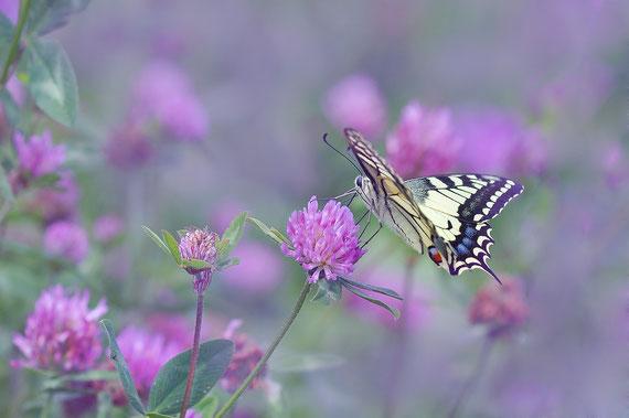 Einmal so grazil und leicht sein wie ein Schmetterling...  Foto: pixabay.com