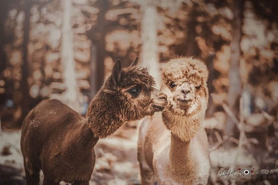 Na Sieri und Sally von Seelenheil-Alpakas