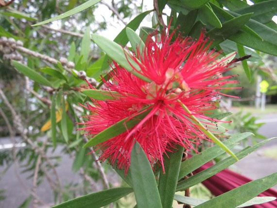 ニュージーランドでよく見かける街路樹の花